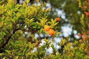San Dimas Citrus crops